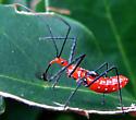 Zelus longipes