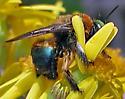 green eyed bee with bluish abdomen on Senecio obovatus - Xylocopa micans - male