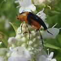 small beetle - Macrosiagon