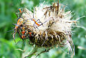 Orange bugs on thistle - Leptoglossus phyllopus