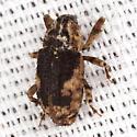 Snout Weevil - Cophes fallax