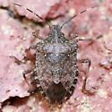 Brown Marmorated Stink Bug nymph - Dorsal - Halyomorpha halys