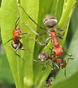Camponotus - Formica