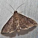 Herpetogramma phaeopteralis - Dusky Herpetogramma Moth ?
