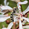 tar flower & unk wasp - Campsomeris - male