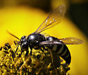 Black and white wasp - Bicyrtes quadrifasciatus