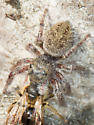 Jumping Spider - Dorsal View - Phidippus princeps