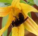 Uvularia bee - Andrena - female