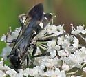 Episyron? - Episyron quinquenotatus - female