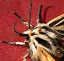 Tiger Moth - Apantesis virguncula - male