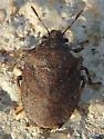 Stink bug - Amaurochrous