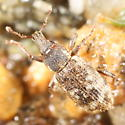 Broad-nosed weevil - Listronotus