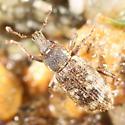 Broad-nosed weevil - Listronotus