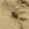 Andrenid - Halictus rubicundus - female