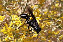 Wasp - Prionyx