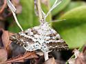 Pine powder moth - Eufidonia convergaria - male