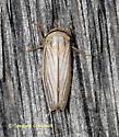 Silver Leafhopper - Athysanus argentarius