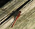 Red dragonfly - Sympetrum vicinum