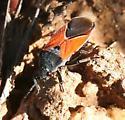 Large Milkweed Bug ? - Melanopleurus