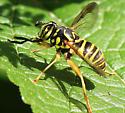 Interesting fly - Spilomyia longicornis - female