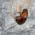 Termite? - Zootermopsis nevadensis