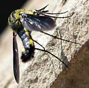 Need an id please view 4 - Lepidophora lepidocera