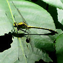 Dragonfly - Dromogomphus spinosus - male