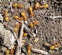 Ants - Lasius nearcticus