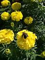 What kind of bee is this - Xylocopa virginica