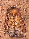 Noctuidae ? - Papaipema inquaesita