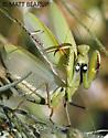 Large Female Mantis - Mantis religiosa - female