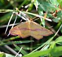 Pink and Yellow Moth - Haematopis grataria - male