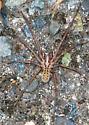 Giant House Spider - Eratigena atrica - male