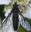 Bee Fly - Aldrichia ehrmanii