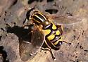 flower fly - Helophilus fasciatus