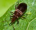 Tiny Plant Bug