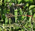 Confirmation for Two-striped Forcetail? - Aphylla williamsoni - male