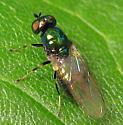 Microchrysa polita - female