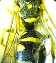 Wasp 5 - Stenodynerus anormis - female