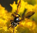 Mining Bees Andrena nubecula - Female  - Andrena nubecula - female
