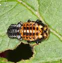Knab's Leaf Beetle pupa - Chrysomela