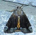 Catocala micronympha (Little Nymph Underwing) - Catocala micronympha