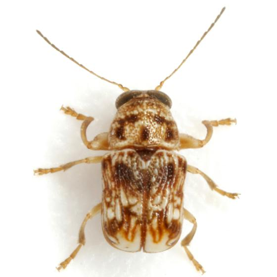 Pachybrachis bullatus Fall - Pachybrachis bullatus - male