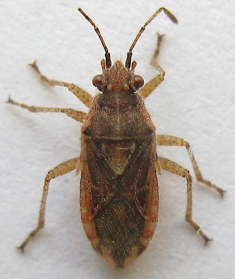 Scentless Plant Bug? - Arhyssus scutatus