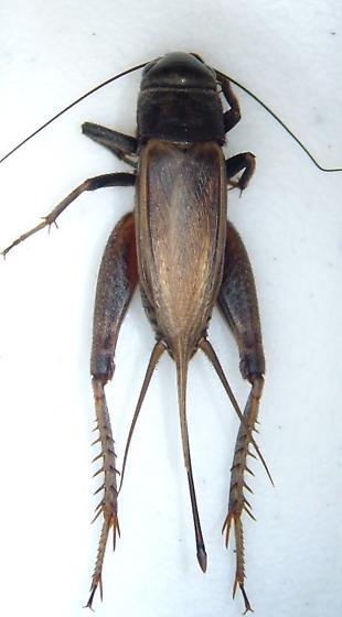 Cricket 01 - Gryllus rubens - female