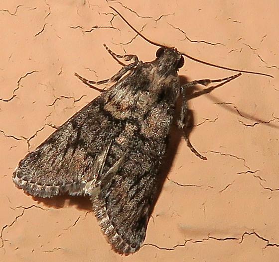 Epipaschiinae?