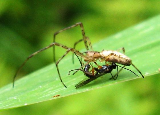 Parasitoid Wasp ovipositing on Tetragnatha - female
