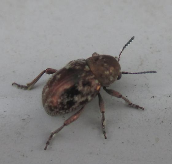 Another stout little beetle - Graphops