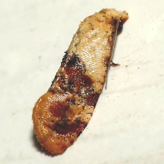 Tortricid - Cochylis hospes