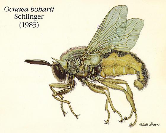 Ocnaea boharti Schlinger, 1983 - Ocnaea boharti - male